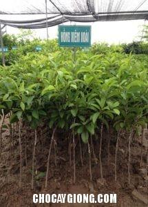 Cây Hồng Xiêm Xoài