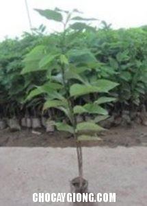cây na giống