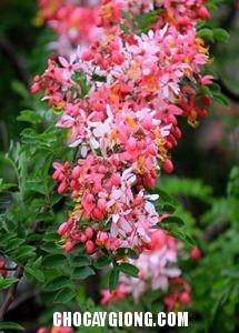 muồng hoa đào 6