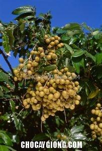 Longan Fruit on Tree