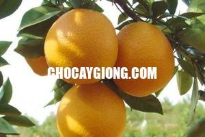 quả cam v2