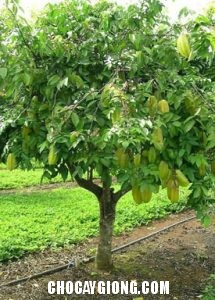 cây khế choai