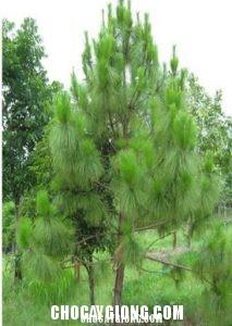 cây thông caribê 6