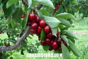 cây cherry 1