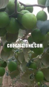 kỹ thuật trồng táo 3