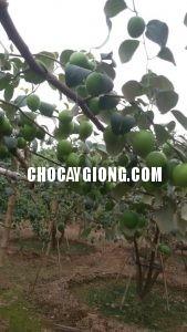 kỹ thuật trồng táo 5