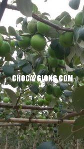 kỹ thuật trồng táo 7