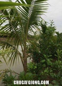 Cây Dừa Xiêm choai 2
