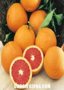 quả cam cara