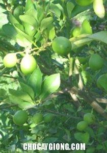 cây cam chanh 2
