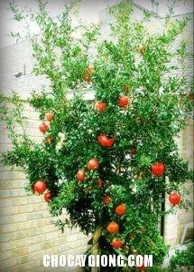 cây lựu choai
