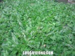 cỏ lá tre 2