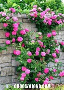 hồng leo pháp