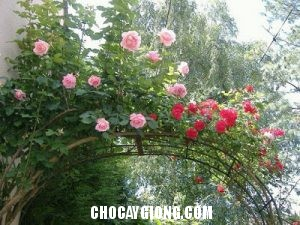 hồng leo pháp 3