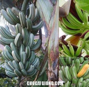 cây chuối cẩm thạch