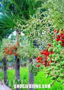 cây cau đỏ 6