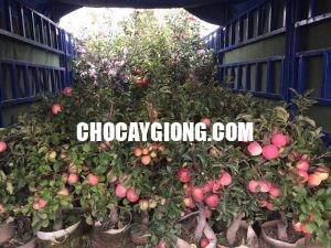 táo đỏ bonsai