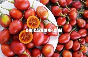 cà chua thân gỗ xuân khương 2