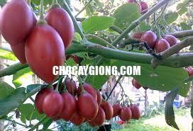 cà chua thân gỗ xuân khương 3