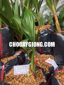 cây dừa dứa
