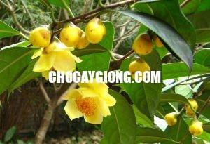 cây trà hoa vàng 1