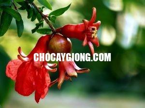 hoa lựu đỏ