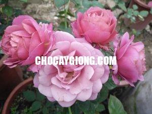AOI ROSE hoa hong nhat ban