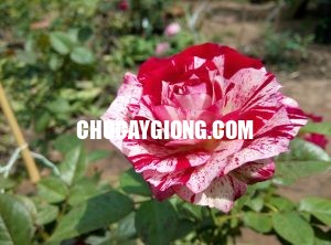 Hoa hồng ngoại Julio rose 1