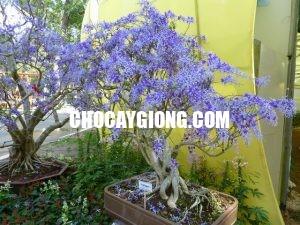 cây mai xanh 3