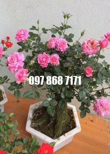 hồng bonsai