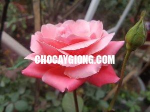 hồng cổ đà lạt 1