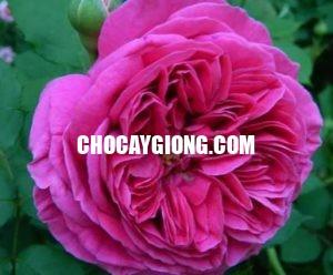 hồng leo huyền bích 1 (2)