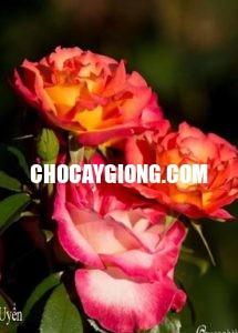hồng leo nguyệt uyển