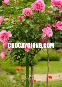 hồng thân gỗ