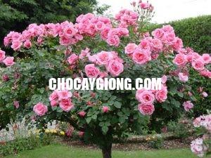 hồng thân gỗ 4