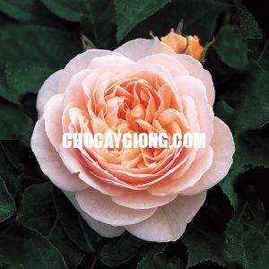 hoa hồng juliet 1