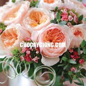 hoa hồng juliet 2