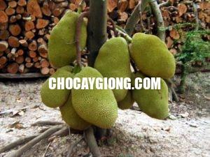 cây mít thái ra quả