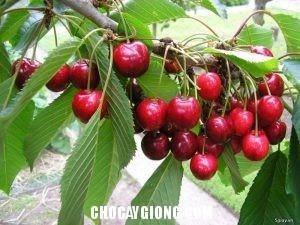 cây cherry 2