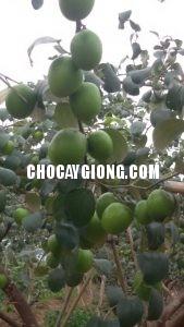 kỹ thuật trồng táo 2