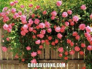 hồng leo pháp 2
