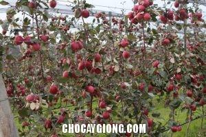 táo đỏ 3