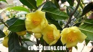 trà hoa vàng 1