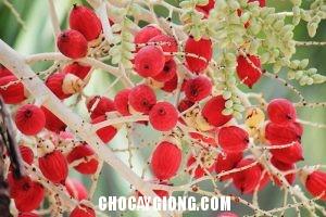 hoa cau đỏ