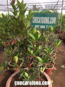 cây cherry brazil có quả