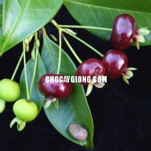 cherry-brazil-2