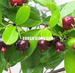 cherry-brazil