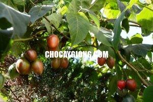 cà chua thân gỗ xuân khương 1
