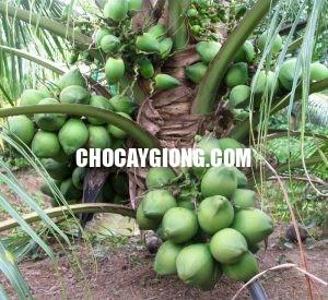 dừa dứa 1