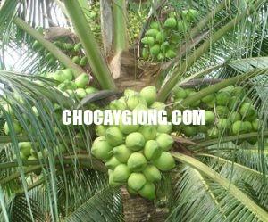 dừa dứa 2